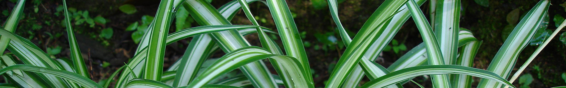 Naturliga luftrenare: Grön luft